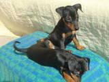 Собаки, щенки Карликовый пинчер, цена 7000 Грн., Фото