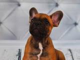 Собаки, щенки Французский бульдог, цена 10000 Грн., Фото