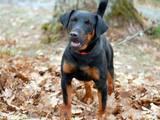 Собаки, щенки Ягдтерьер, цена 1 Грн., Фото