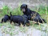 Собаки, щенята Невідома порода, ціна 800 Грн., Фото