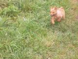 Собаки, щенки Западно-Сибирская лайка, цена 120 Грн., Фото