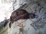 Кішки, кошенята Орієнтальна, ціна 10 Грн., Фото