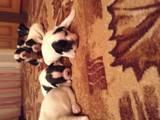 Собаки, щенки Французский бульдог, цена 2500 Грн., Фото