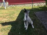 Собаки, щенки Западно-Сибирская лайка, цена 3500 Грн., Фото