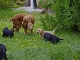 Собаки, щенята Англійський коккер, ціна 7500 Грн., Фото