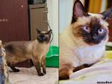 Кішки, кошенята Сіамська, ціна 500 Грн., Фото