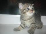 Кошки, котята Британская короткошерстная, цена 8000 Грн., Фото