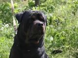 Собаки, щенки Ротвейлер, цена 50 Грн., Фото