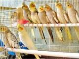 Папуги й птахи Папуги, ціна 350 Грн., Фото