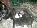 Собаки, щенки Русско-Европейская лайка, цена 1300 Грн., Фото
