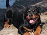 Собаки, щенята Ротвейлер, ціна 12000 Грн., Фото