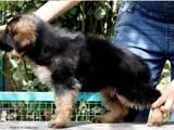 Собаки, щенята Німецька вівчарка, ціна 8750 Грн., Фото