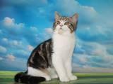 Кішки, кошенята Шотландська висловуха, ціна 4400 Грн., Фото
