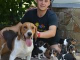 Собаки, щенята Естонський гончак, ціна 50 Грн., Фото