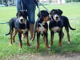Собаки, щенята Великий Швейцарський зенненхунд, ціна 12500 Грн., Фото