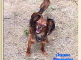 Собаки, щенки Русский длинношерстный тойтерьер, цена 10000 Грн., Фото
