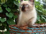Кошки, котята Рэгдолл, цена 3000 Грн., Фото