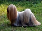 Собаки, щенки Ши-тцу, цена 2350 Грн., Фото