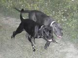 Собаки, щенки Кане Корсо, цена 12500 Грн., Фото