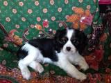 Собаки, щенки Кавалер-Кинг-Чарльз спаниель, цена 12000 Грн., Фото