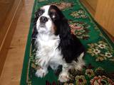 Собаки, щенята Кавалер-кинг-чарльз спаніель, ціна 12000 Грн., Фото