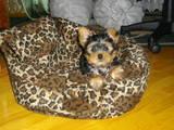 Собаки, щенки Йоркширский терьер, цена 2500 Грн., Фото