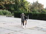 Собаки, щенята Акіта-іну, ціна 16000 Грн., Фото