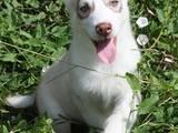 Собаки, щенята Сибірський хаськи, ціна 2500 Грн., Фото