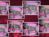 Собаки, щенки Веймарская легавая, цена 12000 Грн., Фото