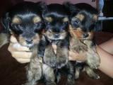 Собаки, щенята Йоркширський тер'єр, ціна 3800 Грн., Фото