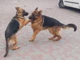 Собаки, щенята Німецька вівчарка, ціна 20000 Грн., Фото