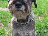 Собаки, щенята Міттельшнауцер, ціна 5000 Грн., Фото
