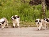 Собаки, щенята Московська сторожова, ціна 7000 Грн., Фото