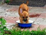 Собаки, щенки Чихуа-хуа, цена 1600 Грн., Фото