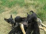 Собаки, щенята Німецька вівчарка, ціна 1300 Грн., Фото