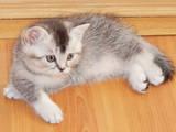 Кошки, котята Шотландская вислоухая, цена 5500 Грн., Фото