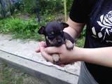 Собаки, щенята Російський гладкошерстий тойтерьер, ціна 1500 Грн., Фото