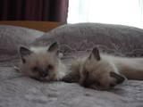 Кошки, котята Бирманская, цена 800 Грн., Фото
