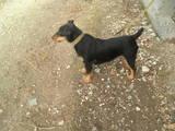 Собаки, щенята Ягдтер'єр, ціна 950 Грн., Фото