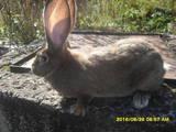 Гризуни Кролики, ціна 100 Грн., Фото
