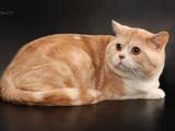 Кошки, котята Спаривание, цена 1000 Грн., Фото