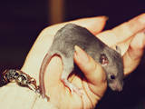 Грызуны Домашние крысы, цена 30 Грн., Фото