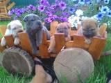 Собаки, щенята Шарпей, ціна 1500 Грн., Фото