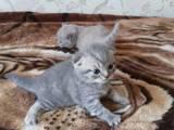 Кішки, кошенята Британська короткошерста, ціна 1200 Грн., Фото