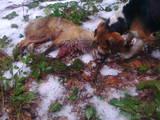 Собаки, щенки Эстонская гончая, цена 2200 Грн., Фото