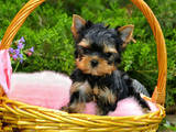 Собаки, щенки Йоркширский терьер, цена 10000 Грн., Фото