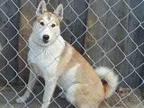 Собаки, щенки Западно-Сибирская лайка, цена 2555 Грн., Фото