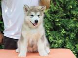 Собаки, щенки Аляскинский маламут, цена 18000 Грн., Фото