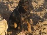 Собаки, щенята Ягдтер'єр, ціна 100 Грн., Фото