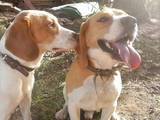 Собаки, щенята Бігль, ціна 3500 Грн., Фото